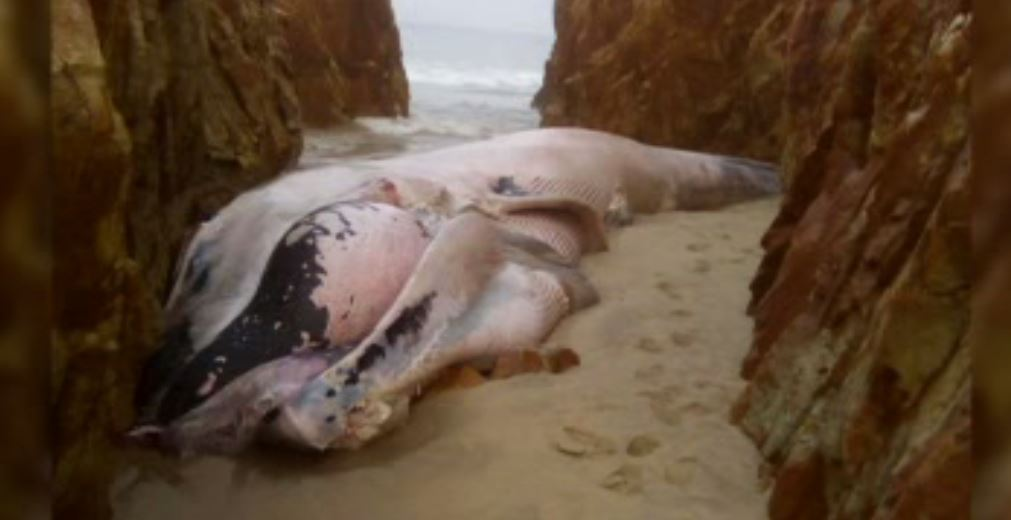 Encuentran a ballena muerta en Salina Cruz, Oaxaca