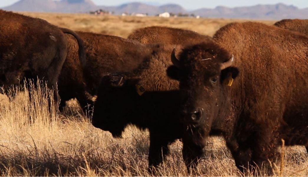 Bisontes recorren los campos de janos