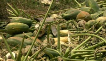 cultivos de papaya afectados por fuertes vientos