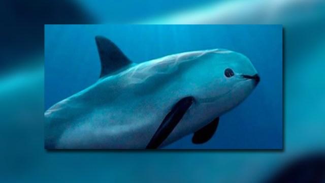 Vaquita marina, especie en peligro de exticion, mamífero, santuario