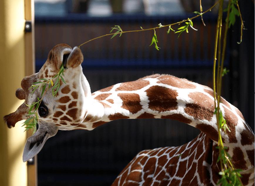 La jirafa Sofie se alimenta de hojas en su nuevo hogar del zoológico de Viena. (Reuters)