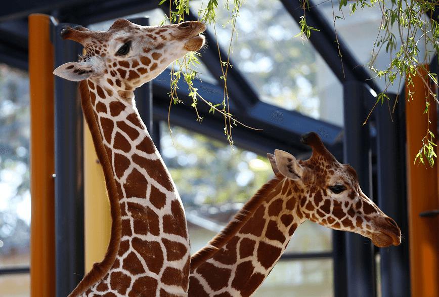 Las jirafas Sofie y Fleur en zoologico de Viena
