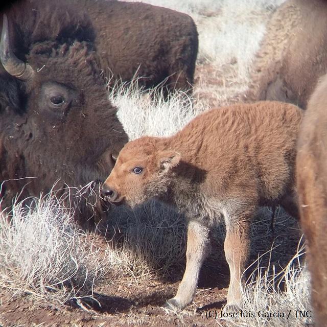 Nacen 12 crías de bisonte americano en Chihuahua