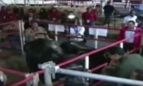 En el video se ve cuando Maduro se dirige a unas vacas (Twitter @ColdeBelloMonte)