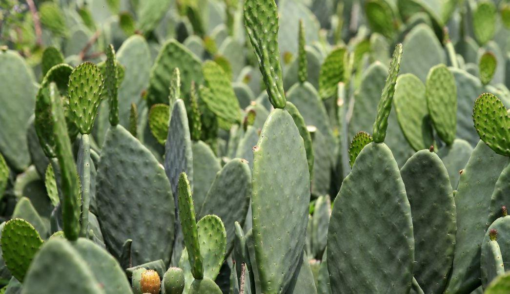 Milpa Alta, nopal, producción, agricultura, CDMX, zona rural
