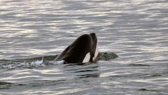 ballena, orca, ballena asesina, depredadores, mar
