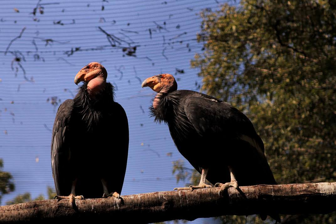 Padres de Cucapá, cóndor nacido en el zoológico de Chapultepec