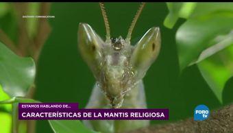 Proceso, reproductivo, mantis, religiosas, insectos, reproducción