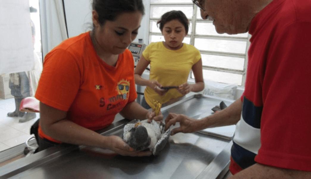 Profepa rescata a ejemplar de halcon en Quintana Roo