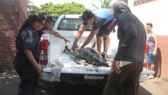 Profepa, varamiento, delfines, tortuga marina, Colima