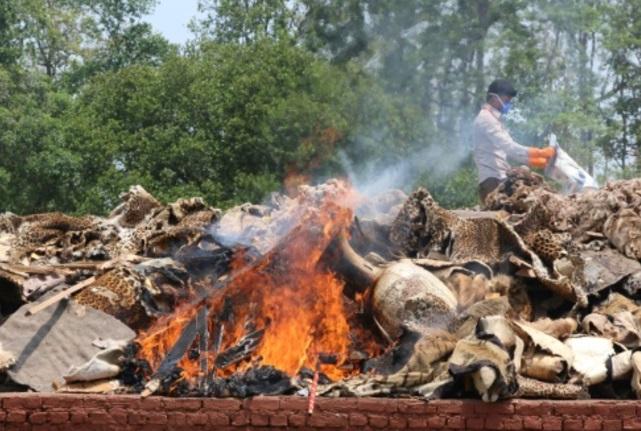 Cuernos de rinoceronte y pieles de tigre fueron confiscados a cazadores (Foto: phys.org)