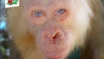 Rescatan orangután albino de Borneo en Indonesia