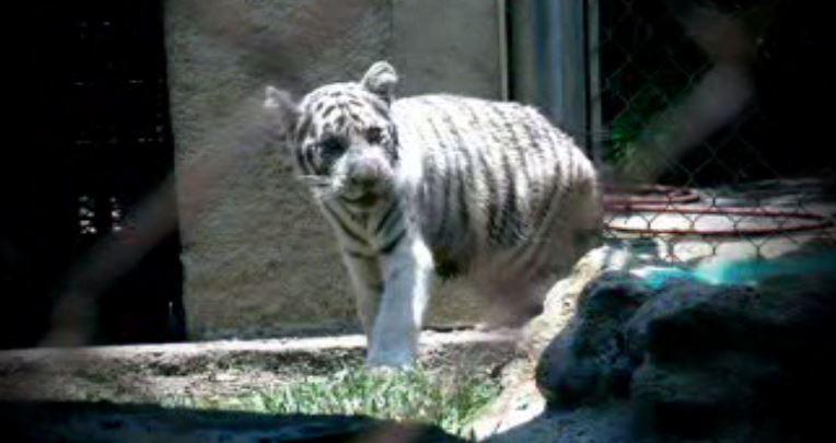 Cachorro de tigre de bengala nacido en el zoológico La Pastora