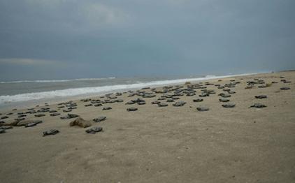tortugas llegan a playas de oaxaca