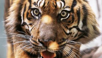 Un tigre entró al recinto de una cuidadora en un zoo inglés