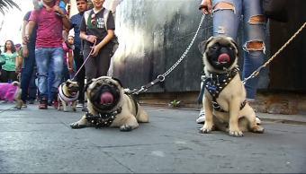 reúnen, 200 pugs, Monumento a la Revolución, Alrededor