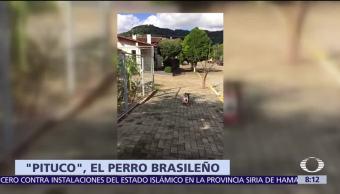 Pituco, perro de Brasil, tienda, comida