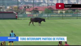 Toro, interrumpe, partido de futbol, Bulgaria