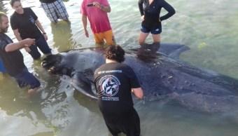 atiende profepa varamiento de un ejemplar de ballena piloto