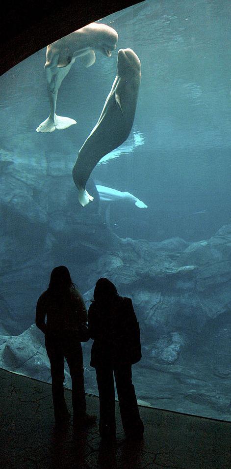 ballenas beluga, Feria Chapultepec, Nico, Gasper, Georgia Aquarium