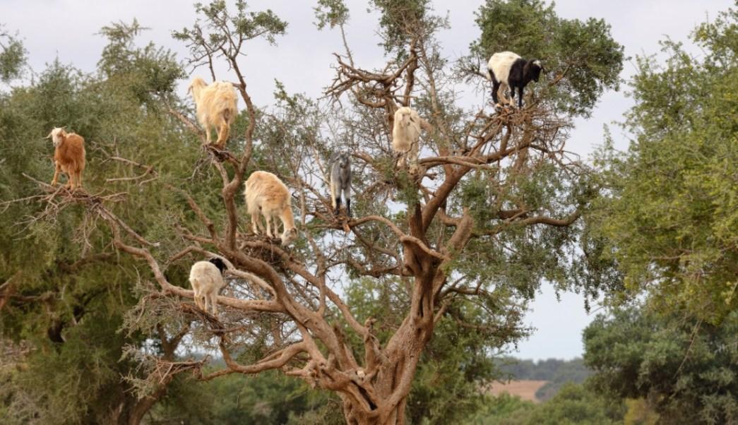 Cabras trepan a los árboles en Marruecos para comerse los frutos (Foto: The New York Times)