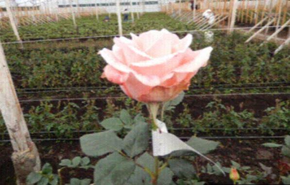 crean variedades de rosas en edomex