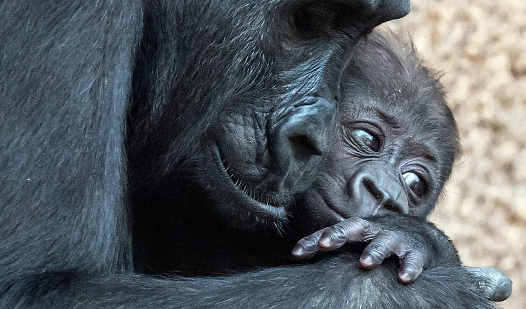 Filadelfia zoológico, bebé gorila, Kira, emergencia