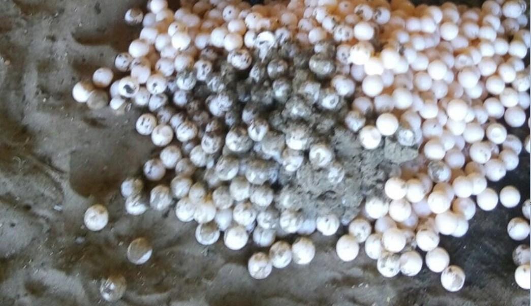 casi mil huevos de tortuga son resembrados en oaxaca