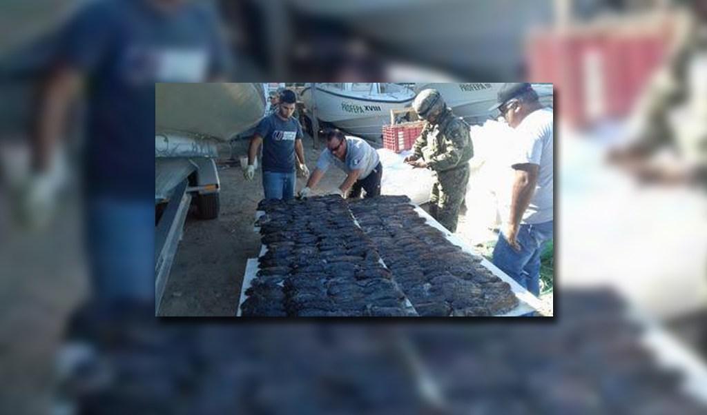personal federal incauta pepino de mar en baja california