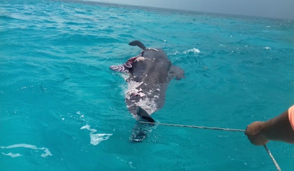Lanzan en mar abierto el cuerpo de una ballena muerta en QRoo