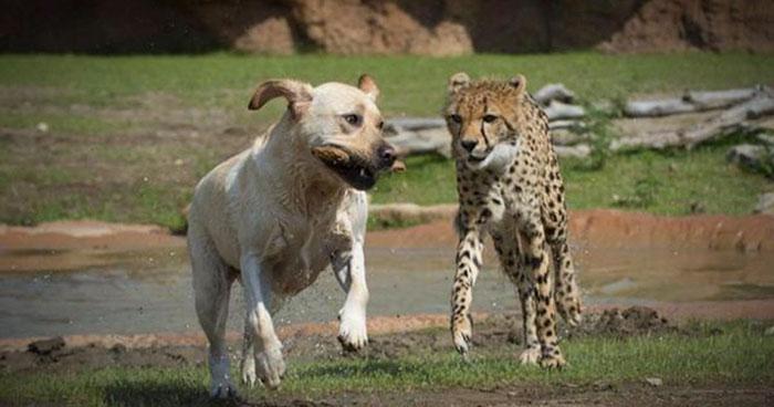 leopardos, perro, ayuda, leopardo, extinguirse, especie,