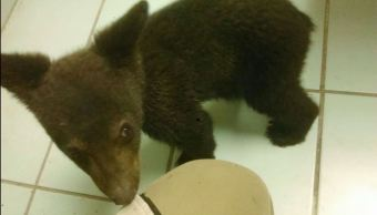 Rescatan a oso negro en salamanca