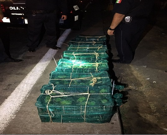 cientos de pericos son rescatados en escuinapa