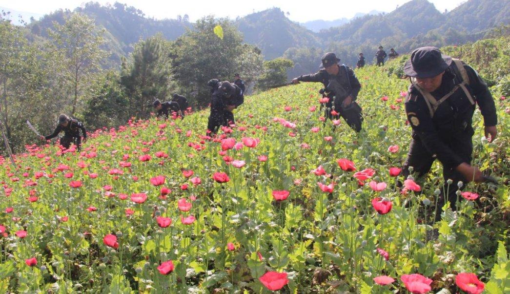 Policía de Guatemala erradica plantaciones de amapola en Tajumulco