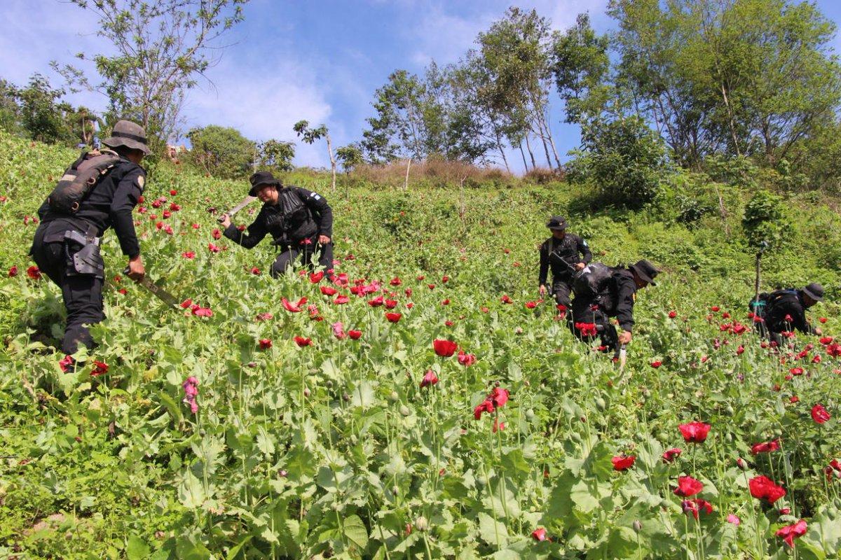 Policía de Guatemala erradican plantaciones de amapola en Tajumulco. San Marcos
