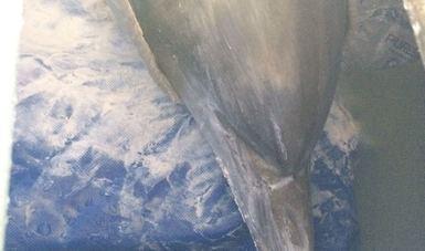 trasladan a cuatro delfines a sonora