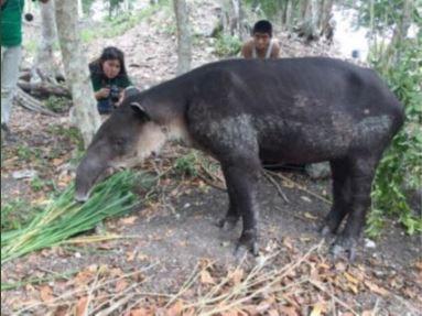 Tapir es rescatado en calakmul campeche