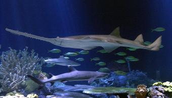 Imagen de archivo de un tiburón Sierra