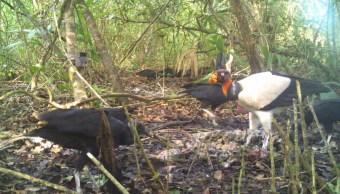 Detectan, Zopilote rey, Peligro de extincion, Campeche, Medio ambiente