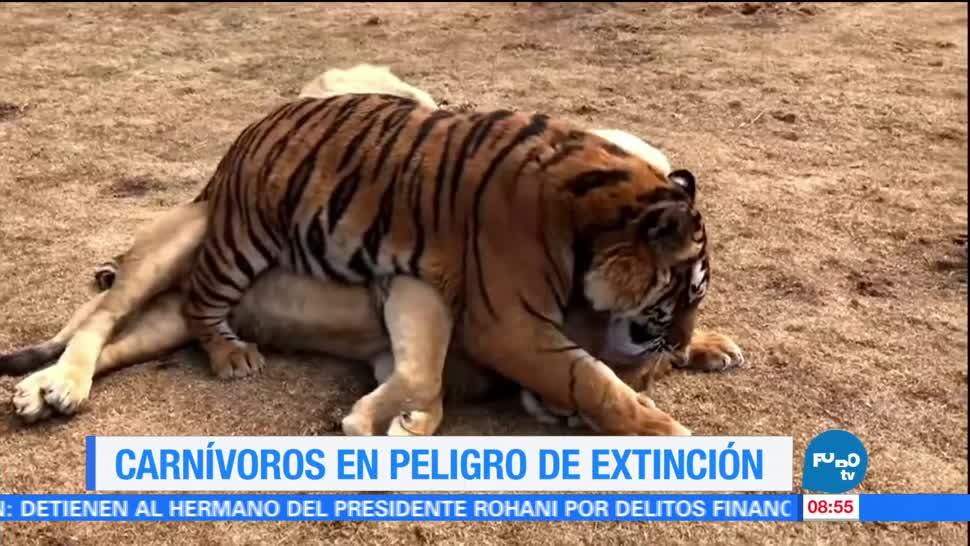 grandes carnívoros, mundo, extinción, hábitat histórico