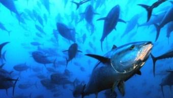 Atun Aleta Azul Peligro Extincion Codemar