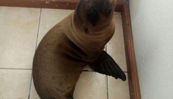 lobo marino, Morelia, zoológico, bebé, cría, protección