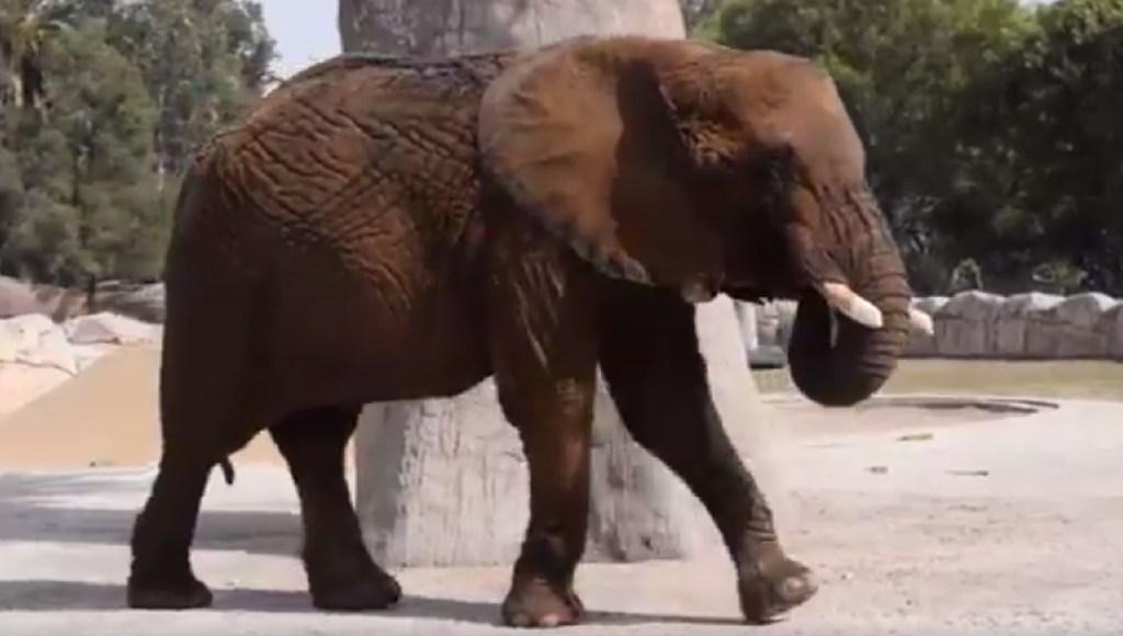 Elefanta Ely. (Twitter Medio Ambiente CDMX Archivo)