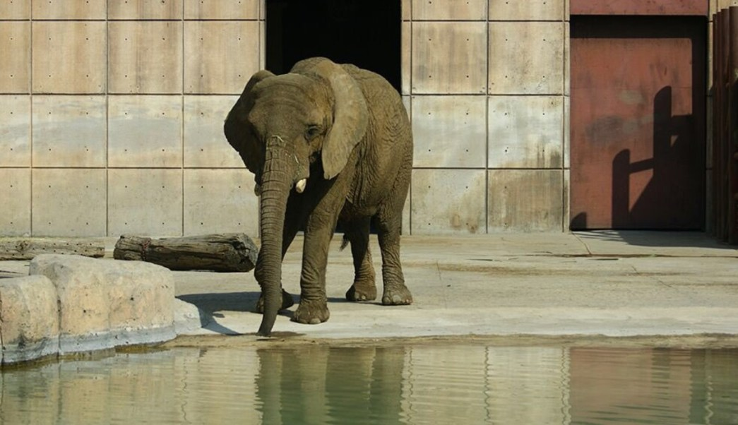 Ely, la elefanta africana. (Twitter Medio Ambiente CDMX Archivo)