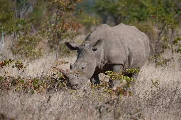 Rinoceronte, zoológico, Londres, especies, peligro, extinción,