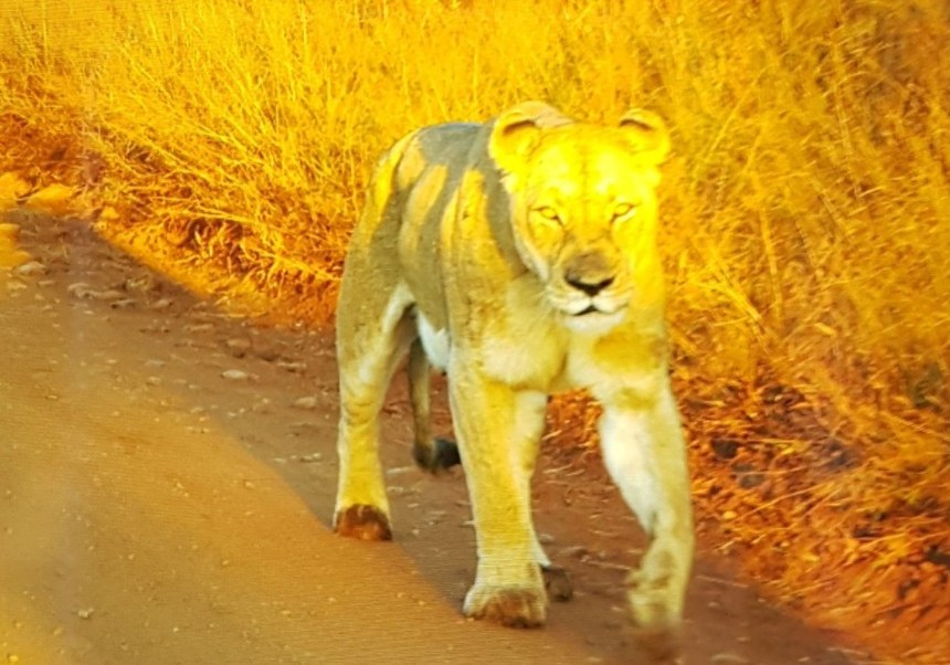 Leona en movimiento en el Parque Nacional Kruger (Twitter: @LatestKruger)