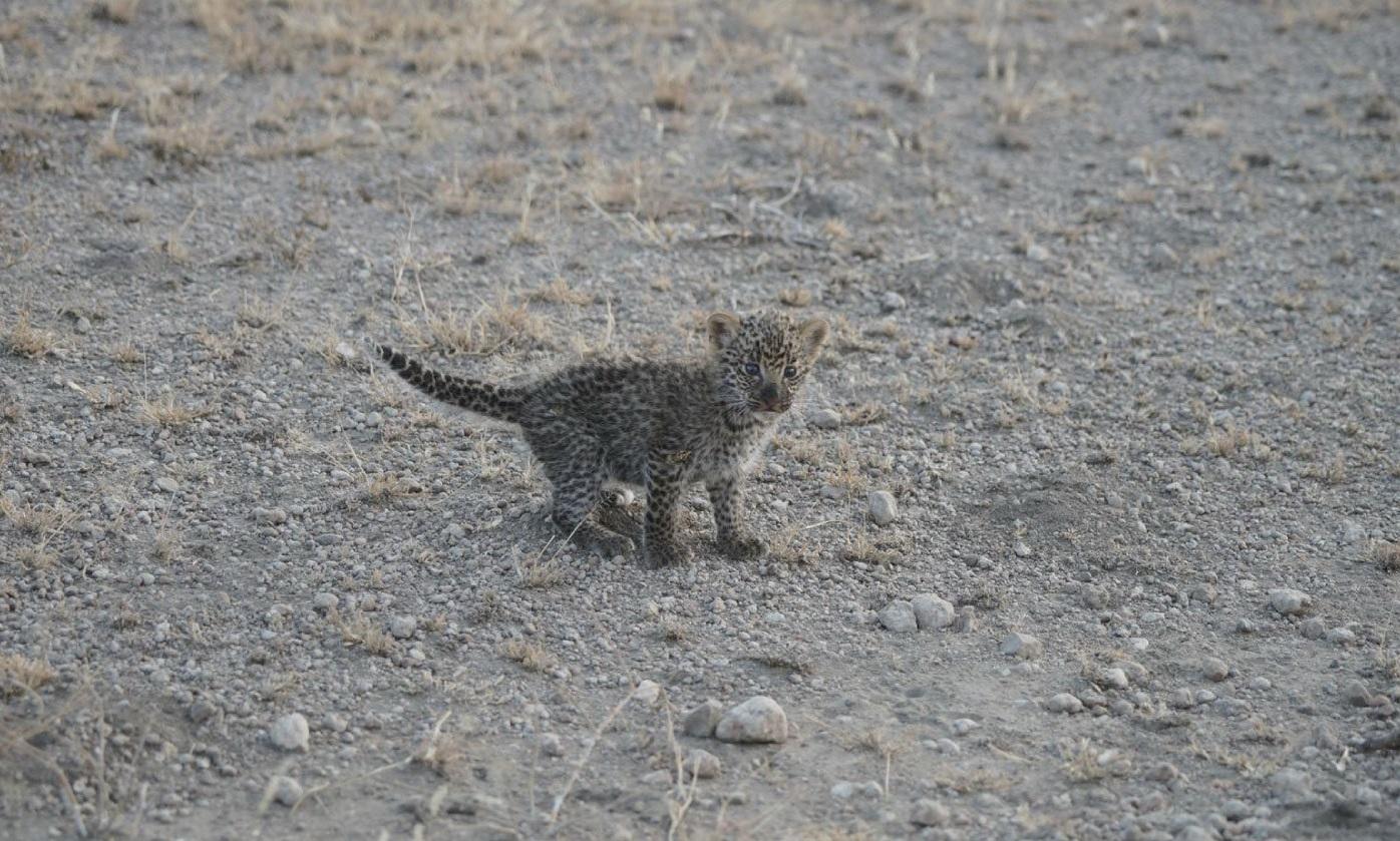 Un cachorro de leopardo en el Área de Conservación de Ngorongoro, Tanzania (Reuters)
