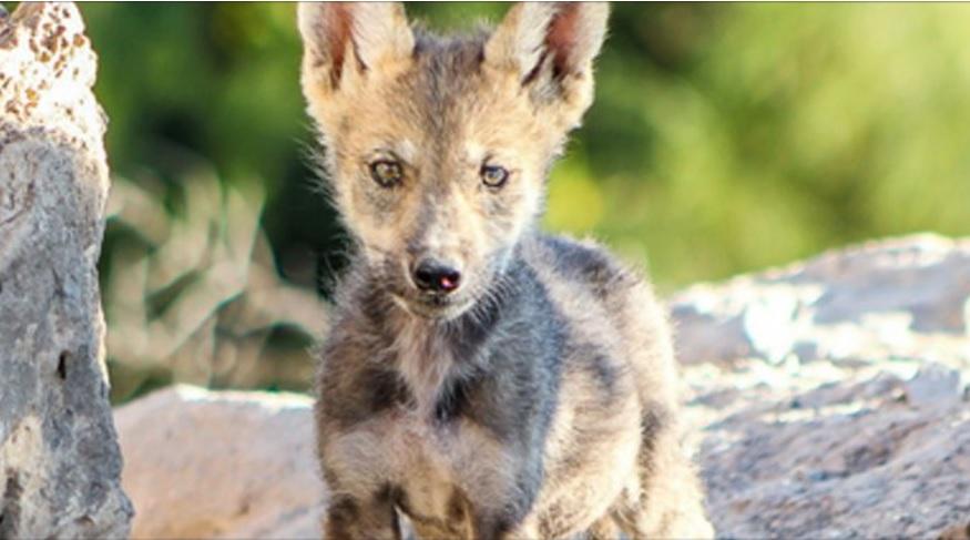 especimen de lobo mexicano recorre zona de seguridad en coahuila