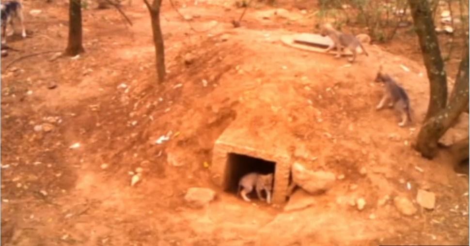 Cachorros de lobo mexicano se pasean en area de conservacion