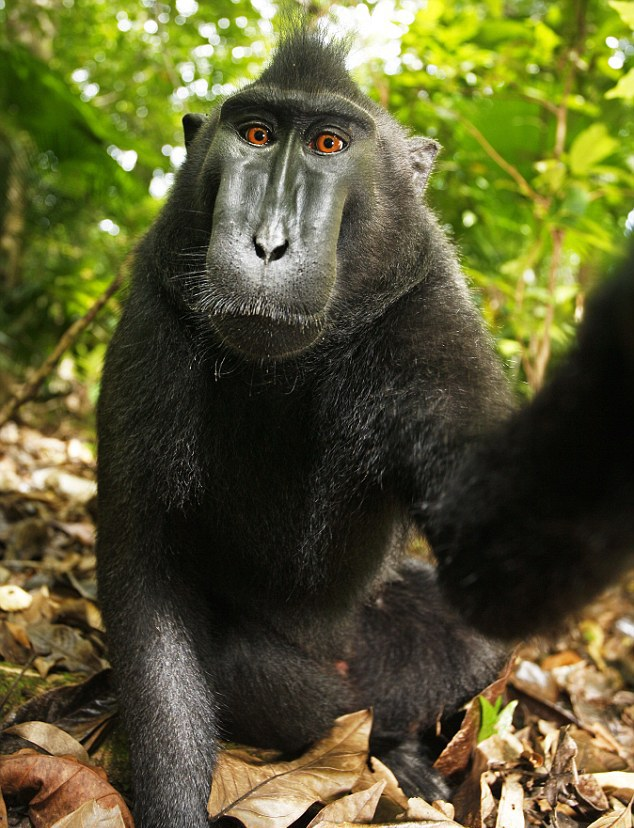 propiedad intelectual, monkey selfie, David Slater, macaco negro